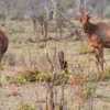 Tsessebe, Botswana: The fastest ungulate in Africa