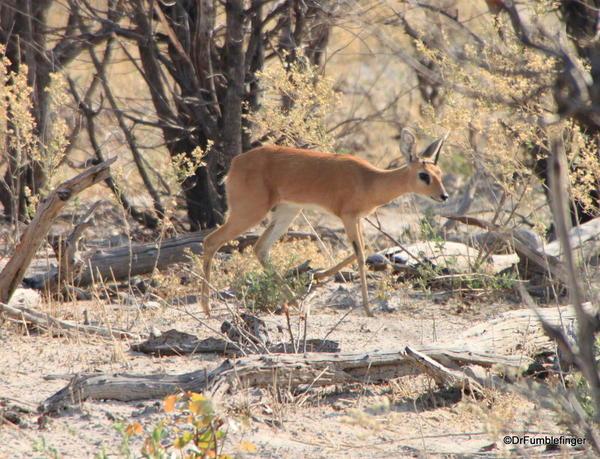 024 Botswana steenbuck