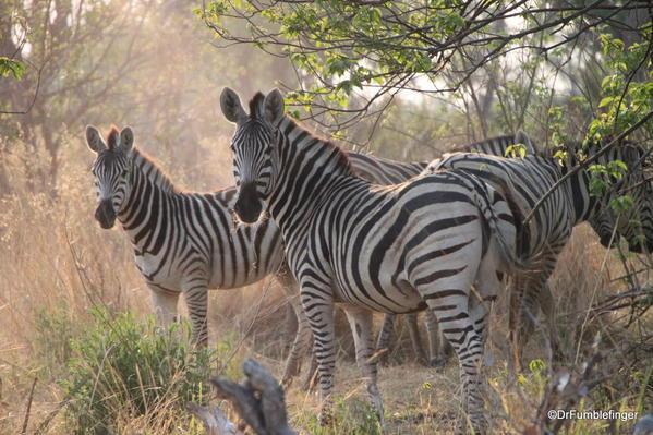 025 Botswana zebra