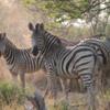 Zebra, Botswana