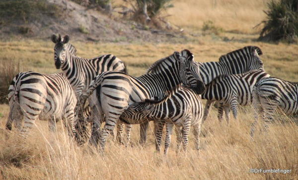 026 Botswana zebra 2