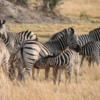 Zebra, Botswana: Note the mom zebra nursing her calf