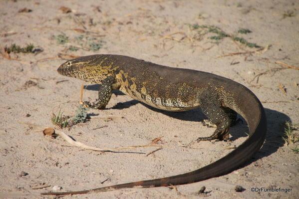 029 Botswana monitor lizard