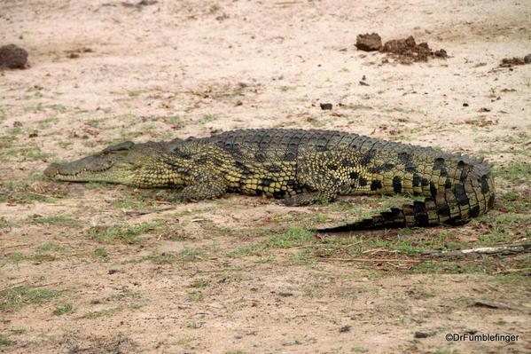 030 Botswana Nile crocodile