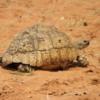 Leopard Turtle, Botswana