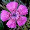 Garofita pietrei craiului- Dianthus callizonus,: The symbol of the Piatra Craiului massif