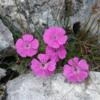 Garofita-Pietrii-Craiului