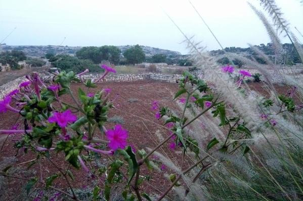 Qrendi farm fields