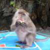 Monkey on the PhiPhi Islands, Thailand