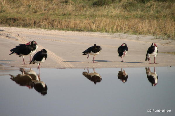 009 Spur-Winged Geese