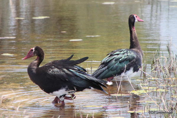 010 Spur-Winged Geese