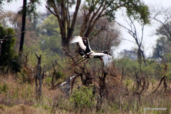 017 Saddlebill stork in flight