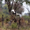 Saddlebill stork taking flight