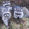 Raccoons, Vancouver's Stanley Park
