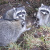 Raccoons, Vancouver's Stanley Park