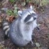 Raccoon, Vancouver's Stanley Park