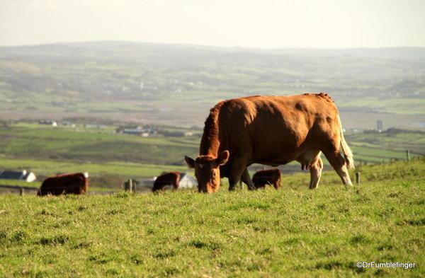 Cliffs of Moher. Cattle grazing