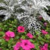 Petunias and artemisia.