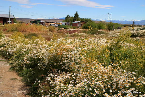 Wildflowers in El Calafate