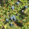 El Calafate berries, Laguna Nimez Nature Preserve
