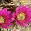Joshua Tree National Park, California.  Cholla Cactus Gardens: Lovely cactus blooms