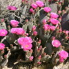 Joshua Tree National Park, California: Lovely cactus blooms