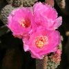 Joshua Tree National Park, California, near Arch Rock: Lovely cactus blooms