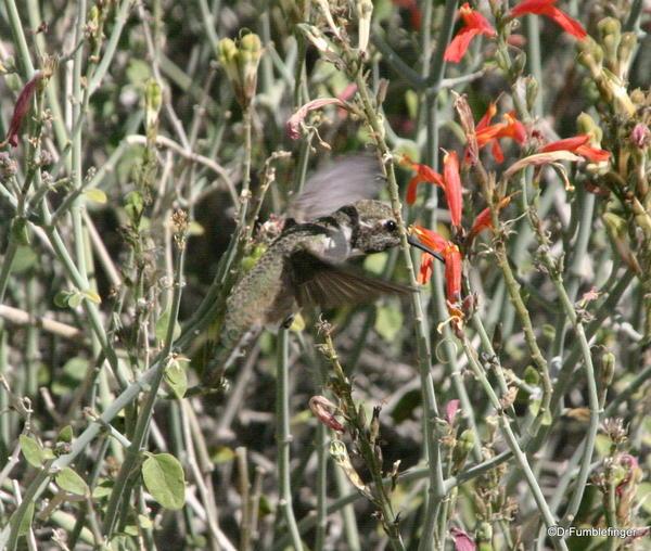 California, Spring 160. Palm Desert, Living Desert Museum. Hummingbird