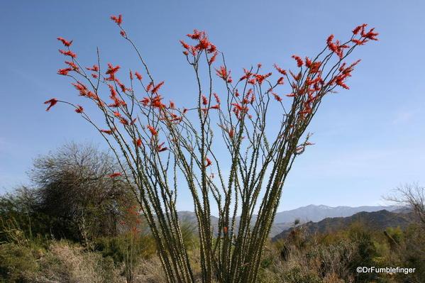 California, Spring 171. Palm Desert, Living Desert Museum. Octillo