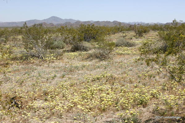 Joshua Tree National Park. A blanket of wildflowers