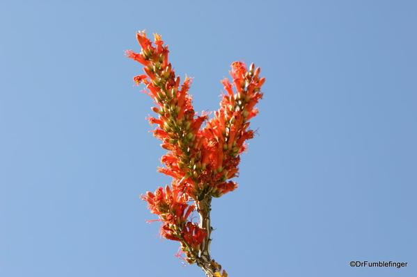 California, Spring 173. Palm Desert, Living Desert Museum. Octillo