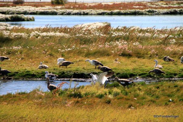 El Calafate, Argentina. Laguna Nimez Nature Preserve. Upland geese