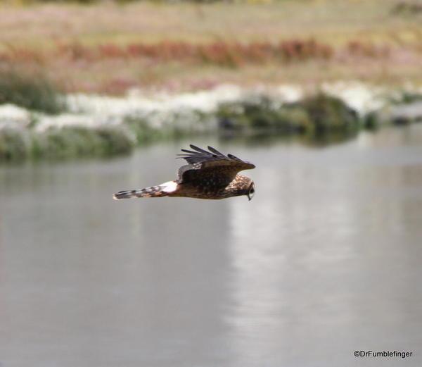 El Calafate, Argentina. Laguna Nimez Nature Preserve, Hawk