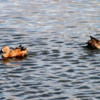 El Calafate, Argentina.  Laguna Nimez Nature Preserve, Red Shoveler