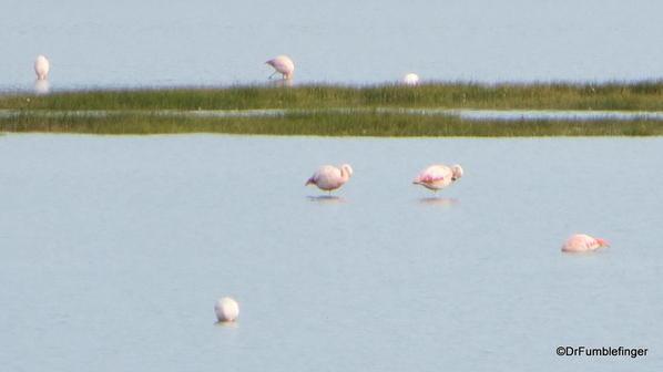El Calafate, Argentina. Laguna Nimez Nature Preserve. Flamingos