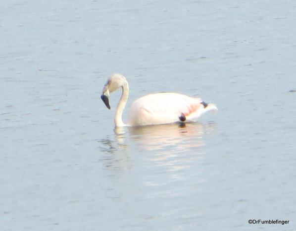 089 El Calafate Laguna Nimez Nature Preserve 2-2014 Flamingos