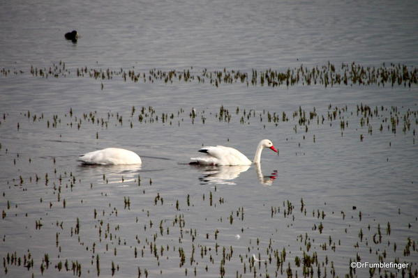 El Calafate, Argentina. Laguna Nimez Nature Preserve. Swans