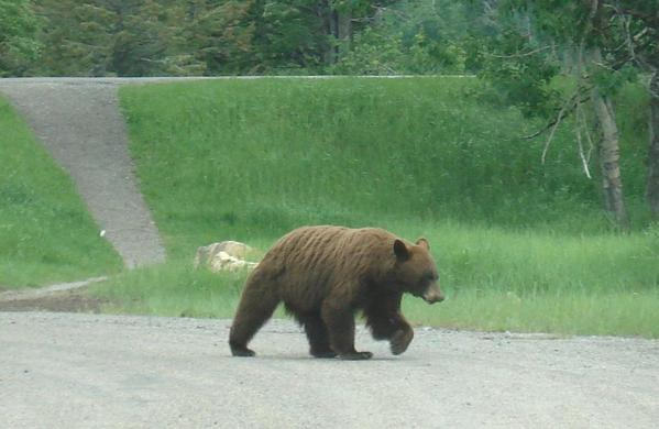 Brown Bear, Waterton Lakes