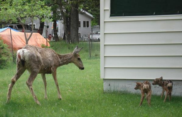 Deer and fawns, Waterton Lakes