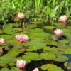 Water lilies, Mission San Juan Capistrano, California