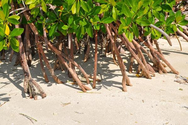 Mangroves on the coast, Cuba