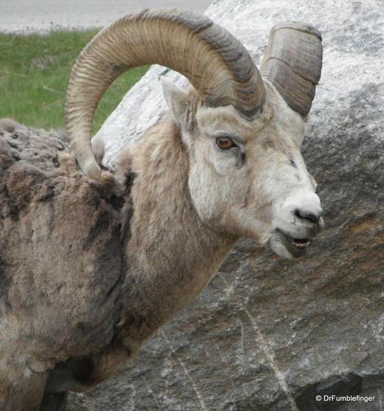 Rocky Mountain Bighorn sheep (ram), Alberta