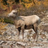 Rocky Mountain Bighorn herd (ewes), Alberta
