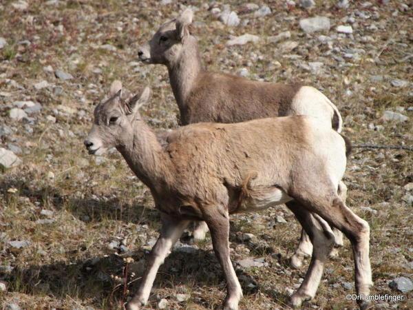 Rocky Mountain Bighorn lambs, Alberta