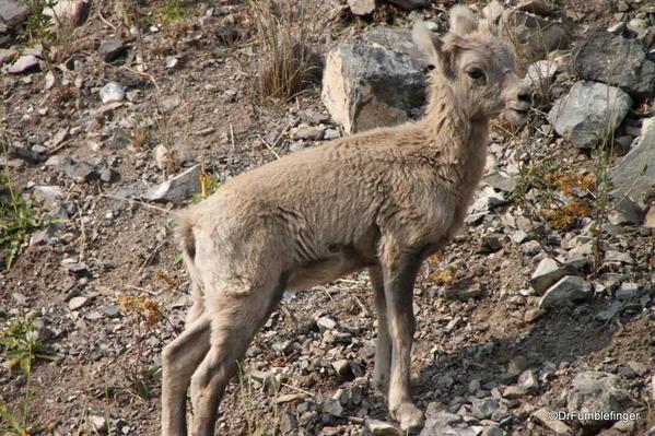 Rocky Mountain Bighorn lamb, Alberta
