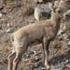Rocky Mountain Bighorn lamb, Alberta: Incredibly cute!  It was struggling to keep up with mom