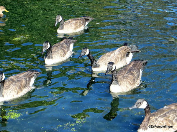 Canada geese, Assiniboine Park Duck Pond, Winnipeg