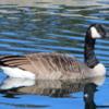 Canada Goose, Assiniboine Park