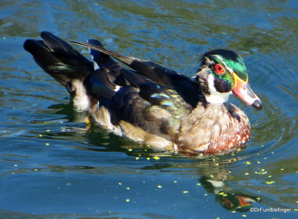 Wood Duck, Assiniboine Park