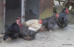 Chickens, farm in Fontevraud Abbey